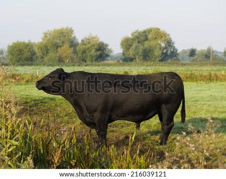 Black Aberdeen Angus pedigree bull bellowing for feminine company on English farm - stock photo