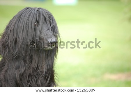 Black Afghan - stock photo