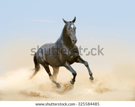 black akhal-teke horse running in desert - stock photo