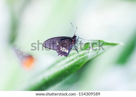Black amazonian butterfly closeup - stock photo