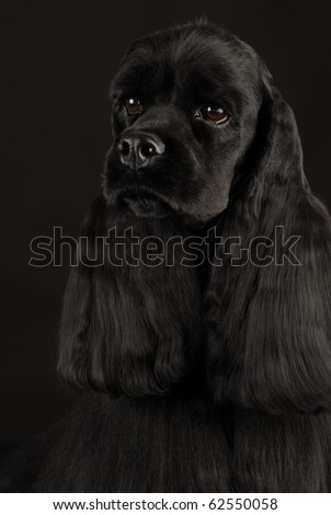 black american cocker spaniel portrait on black background - stock photo