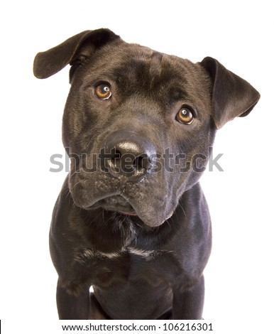 Black American Staffordshire Terrier head shot isolated on white background - stock photo