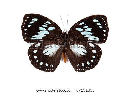 Black and blue butterfly Euxanthe wakefieldi isolated on white background - stock photo