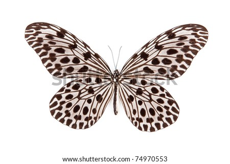 Black and blue butterfly Idea lynceus isolated on white background - stock photo