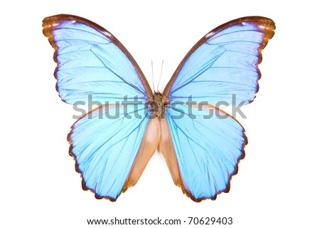 Black and blue butterfly Morpho didius isolated on white background - stock photo