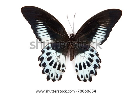 Black and blue butterfly Papilio polymnestor isolated on white background