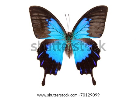 Black and blue butterfly Papilio ulysses  isolated on white background
