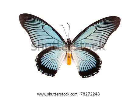 Black and blue butterfly Papilio zalmoxis isolated on white background - stock photo