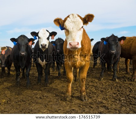 Black and Brown Cows Looking at Camera, Cattle Ranch, Calf, Calves in Summer Pasture - stock photo