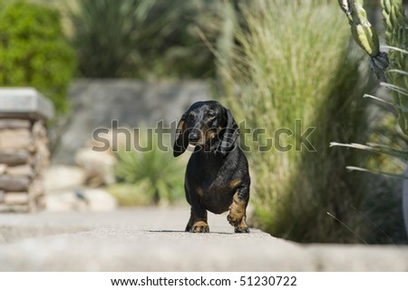 Black and brown daschund is walking towards the photographer looking off to the left of the frame. Camera position is below the level of the dog. - stock photo
