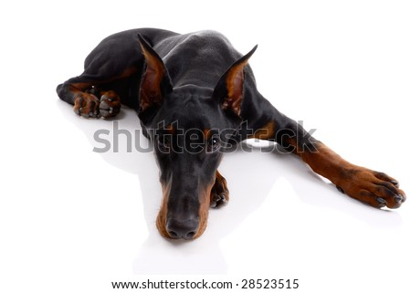 black and brown doberman on white background - stock photo