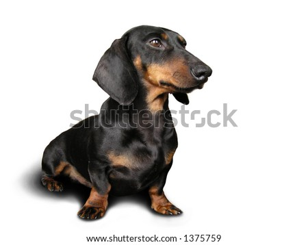 Black and brown dog (dachshund) on white background - stock photo