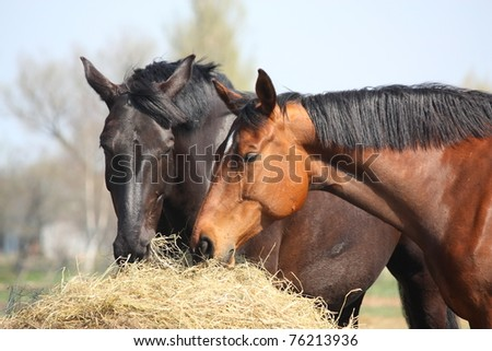 Black and brown horses eating hay - stock photo