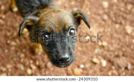 Black and Brown Puppy / Dog - stock photo