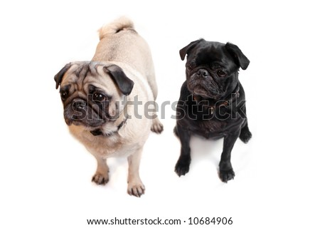 Black and Fawn colored Pugs posing for the camera on a white background