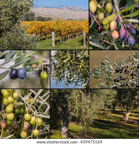 black and green olives on olive tree collage - stock photo