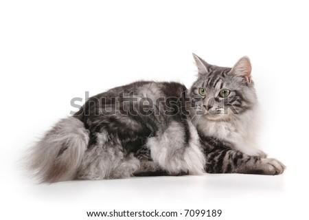 black and grey cat of kuril bobtail with small tail - stock photo