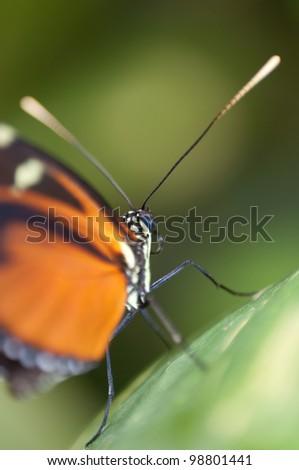 Black and orange butterfly Danaus genutia - stock photo