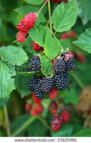 Black and red blackberry fruit in nature - stock photo