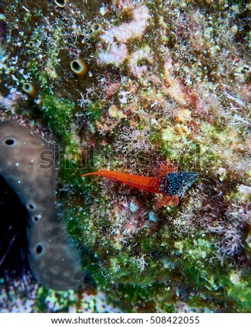 black and red goby fish on colorful reef, underwater scene