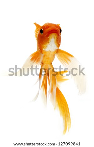 Black and Red goldfish isolated on white background. - stock photo