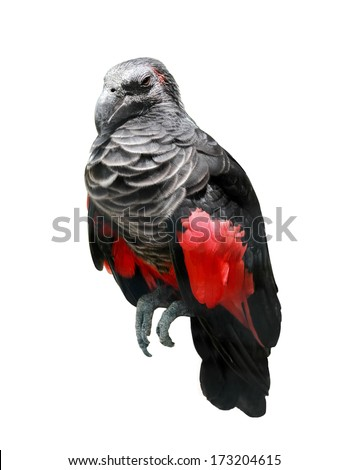 black and red wings bird isolated over white background - stock photo