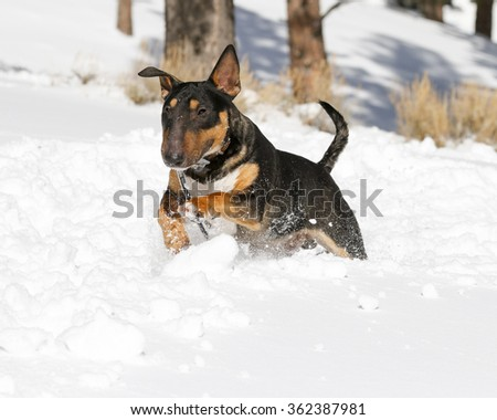Black and tan Bull Terrier jumping through the snow - stock photo