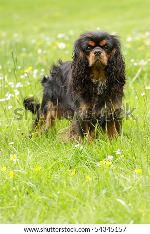 Black and Tan Cavalier King Charles Spaniel - stock photo