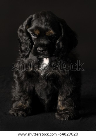 black and tan cocker spaniel puppy sitting on black background - stock photo