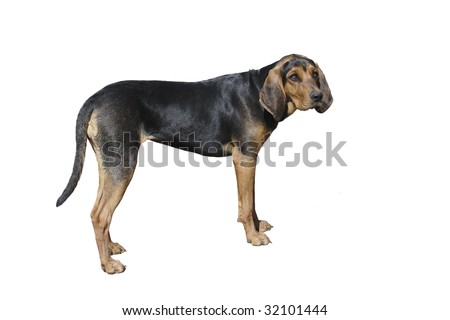 Black and Tan Coon Dog - stock photo