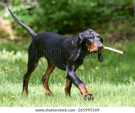 black and tan coonhound playing fetch with a stick - stock photo