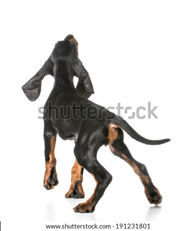 black and tan coonhound reaching up on white background - stock photo