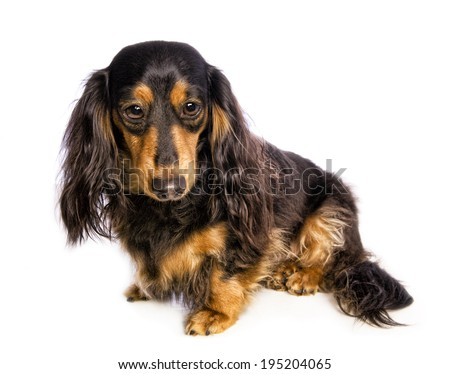 Black and tan long haired dachshund sitting to the side with sad big eyes isolated on white background