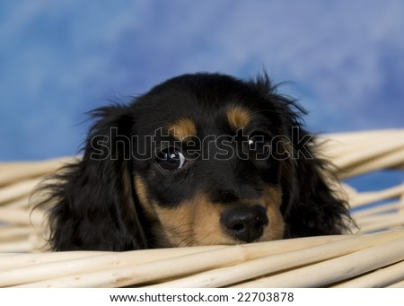 Black and Tan Long Haired Mini Dachshunds