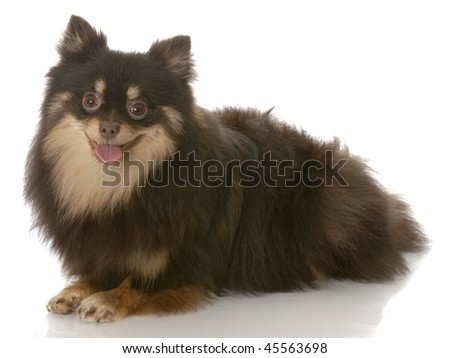 black and tan pomeranian puppy laying down - seven months old