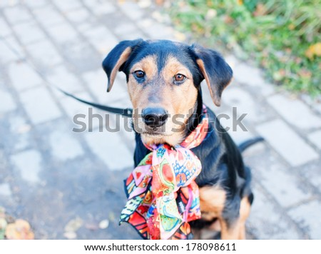 Black-and-tan puppy teenager with bandana around his neck