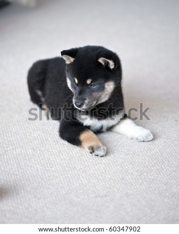 Black and Tan Shiba Inu Puppy