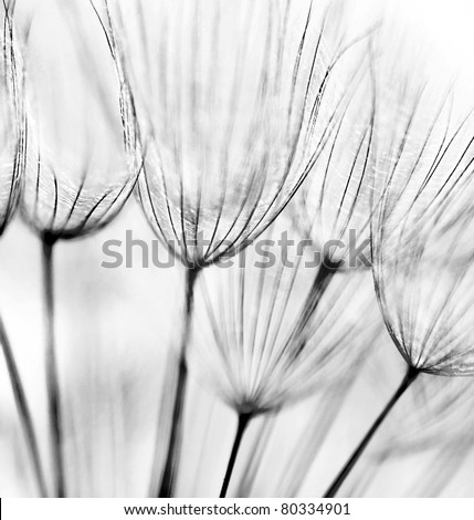 Black and white abstract dandelion flower background, extreme closeup with soft focus - stock photo