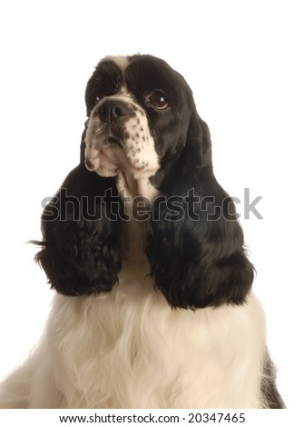 black and white american cocker spaniel isolated on white background -  champion bloodlines - stock photo
