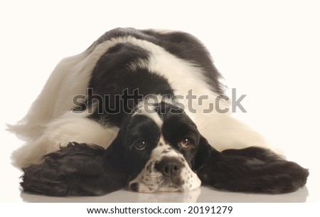 black and white american cocker spaniel lying down isolated on white background - stock photo