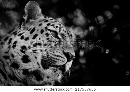 Black and White Amur Leopard - stock photo