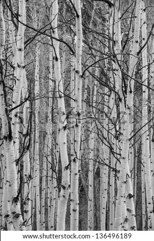 Black and white Aspen forest in the winter - stock photo