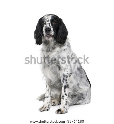 Black and white bastard dog similar to an English Springer Spaniel, 6 years old, in front of white background - stock photo
