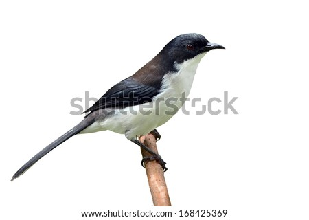 Black and white bird, Dark-backed Sibia (Malacias melanoleucus) standing on a branch, white background