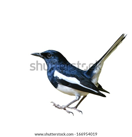 Black and white bird, Magpie Robin isolated on white background. - stock photo