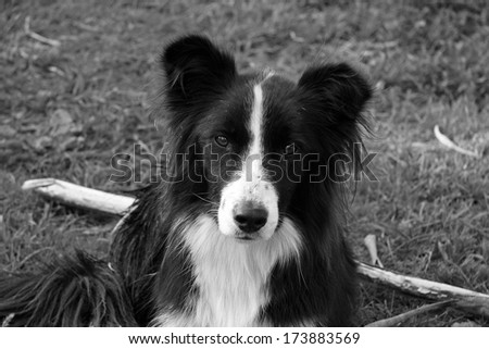 Black and White Border Collie in Black and White