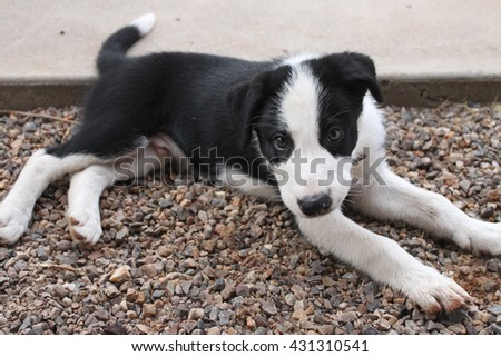 Black and white border collie laying down