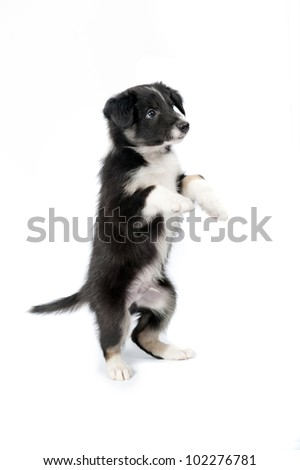 black and white border collie puppy on the white background - stock photo