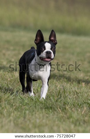 Black and white Boston Terrier Dog facing forward, standing in field of green grass