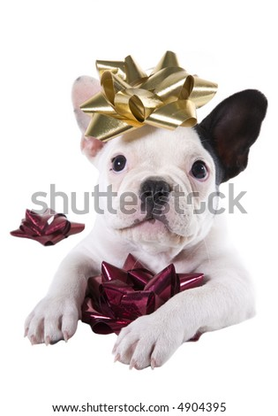 Black and white bulldog puppy playing with holiday bows isolated on white